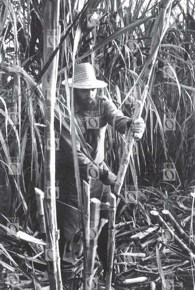 Fidel Castro haciendo trabajo voluntario en la caña de azúcar.